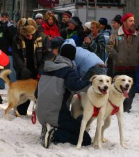Sled dogs at the starting line for La Grand Viree