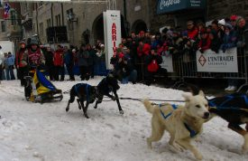 Start of a dogsled race with dogsled team and musher at Quebec Carnival